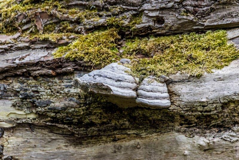 Fungo e muschio sulla corteccia di un albero caduto fotografie stock