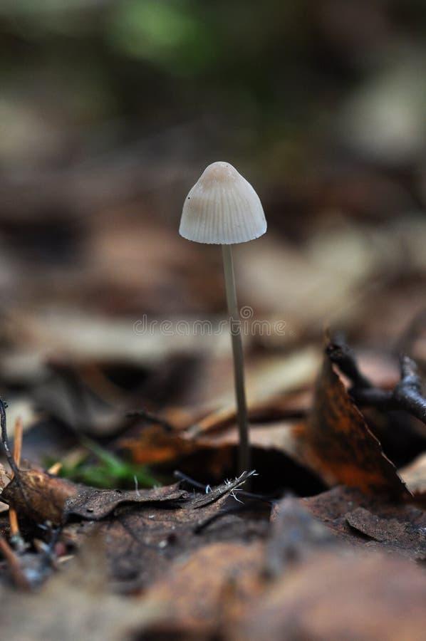Fungo in foglie di marrone di caduta fotografia stock