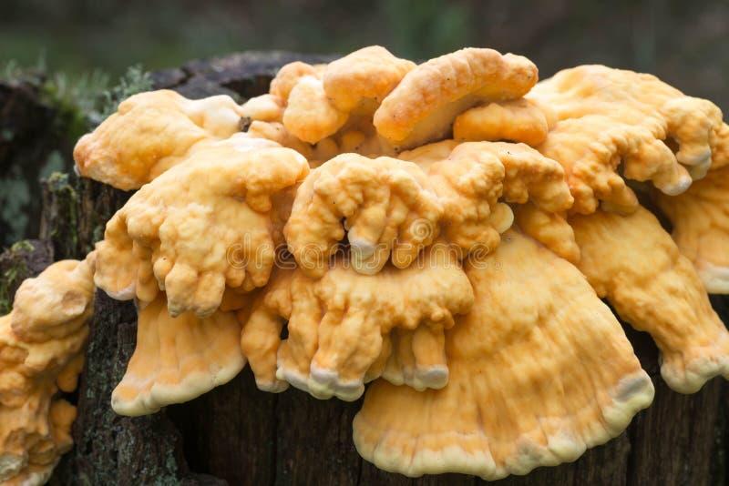 fungo giallo del Pollo-de--legno sul tronco di albero fotografie stock