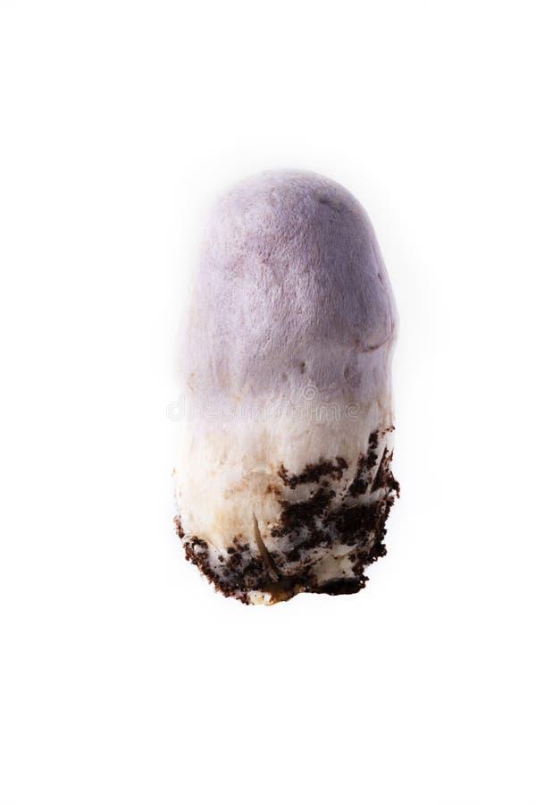 Fungo gitano Cortinarius caperatus - Raccolta autunnale di funghi selvatici sullo sfondo luminoso fotografia stock