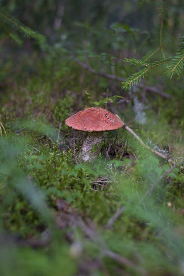 Fungo - il boletus del arancio-cappuccio nella foresta immagini stock libere da diritti