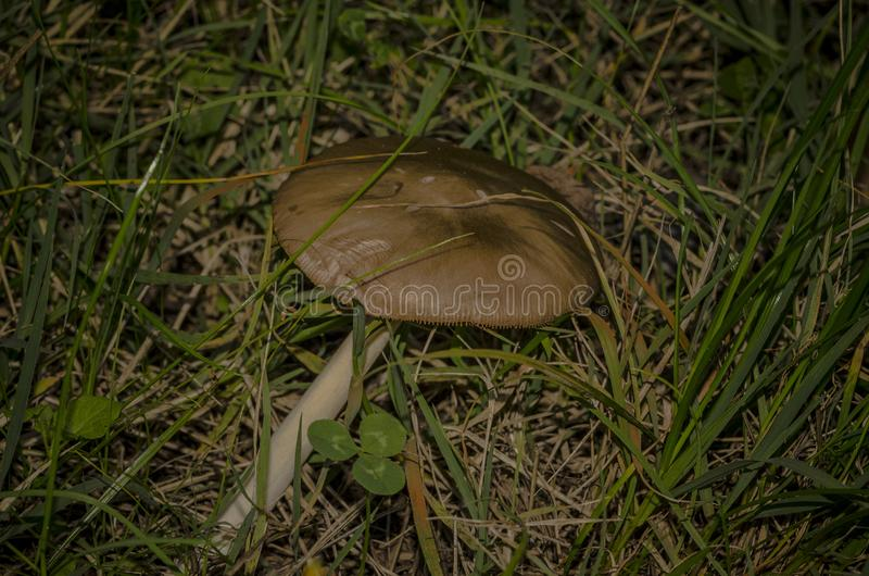 Fungo nascosto nell'erba in mezzo al legno immagini stock libere da diritti