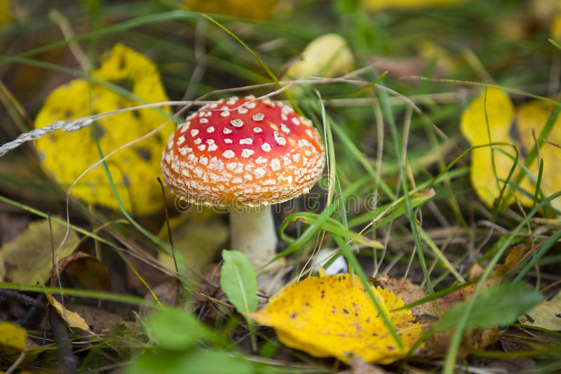 Fungo non commestibile rosso con i punti bianchi in erba verde fotografia stock libera da diritti