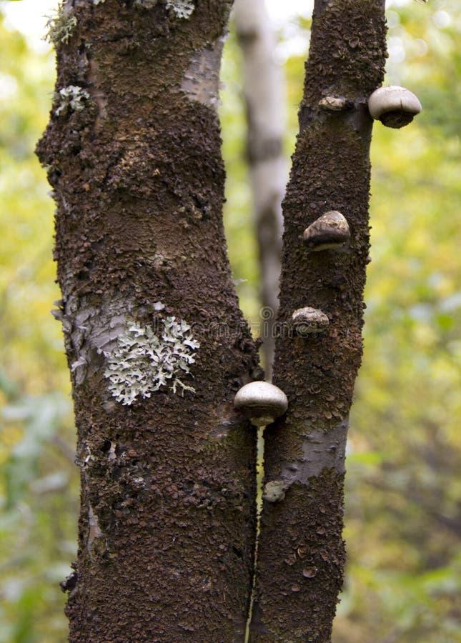 Fungo ou Inonotus do vidoeiro obliquus fotos de stock