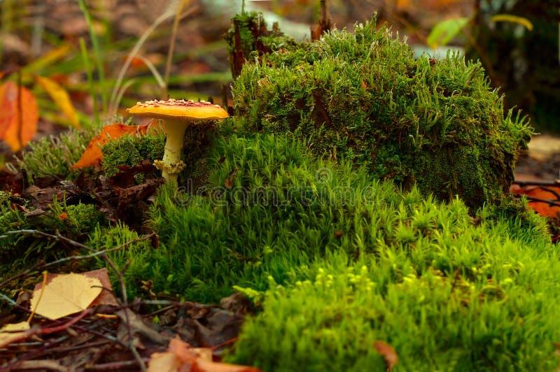 Fungo rosso tossico su muschio verde immagine stock libera da diritti