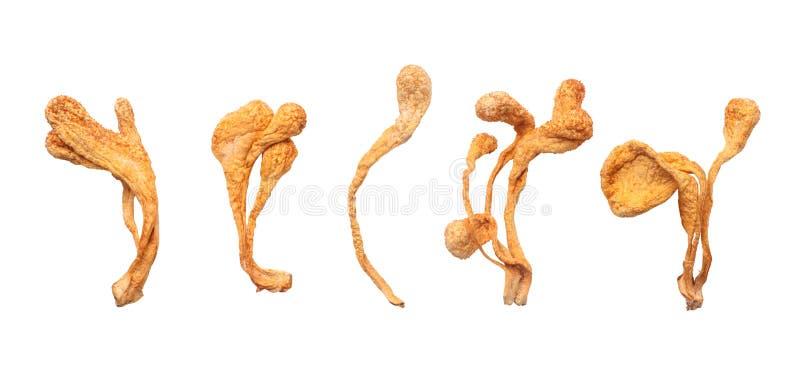 Fungo secco di Cordyceps Militaris immagini stock libere da diritti