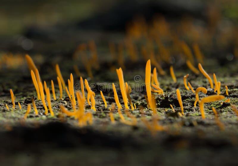 Fungos de Dacrymycetales fotos de stock