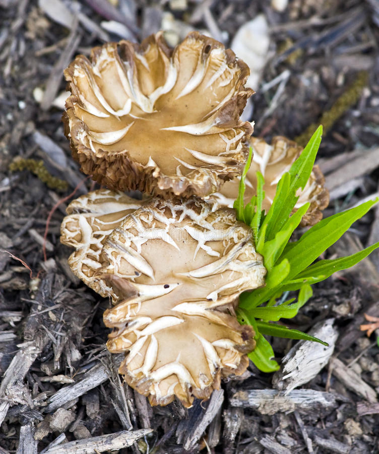Fungos no Mulch foto de stock royalty free