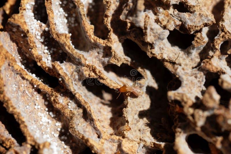 Fungos que crescem a térmita nos túneis do ninho imagem de stock royalty free