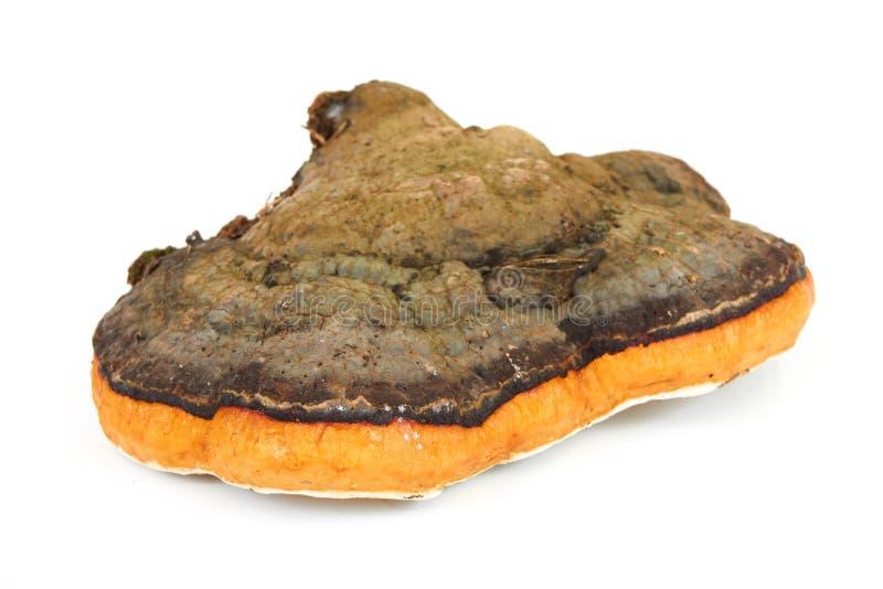 Fungus chaga royalty free stock image