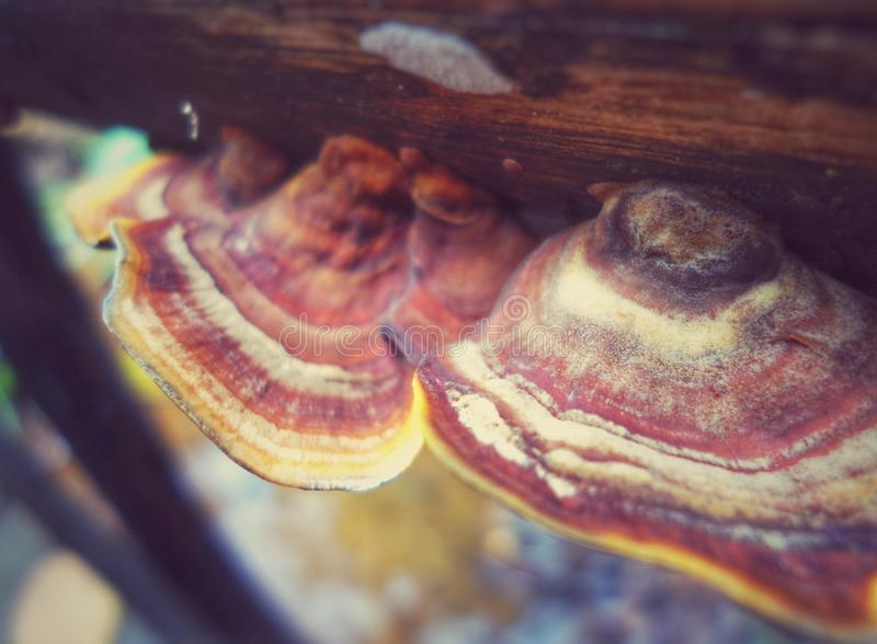 Fungus with an ear shape and colorful stripes attached to a decaying trunk royalty free stock photo