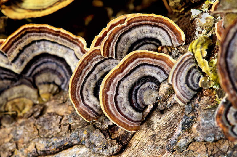 Fungus. Grow around a old tree trunk stock photography