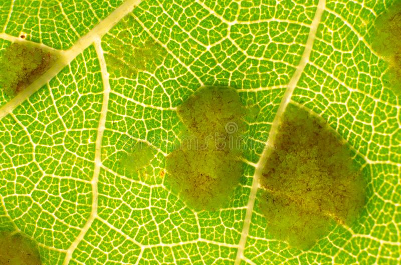 Mildew fungus on  leaf of grapes. Fungus mildew on a sheet of grapes close-up royalty free stock photography