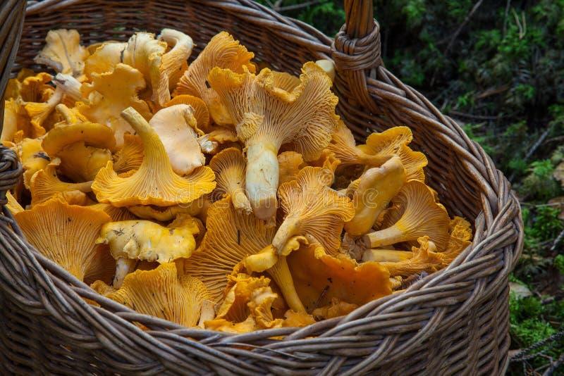 Fungus, Mushroom, Edible Mushroom, Agaricaceae royalty free stock images