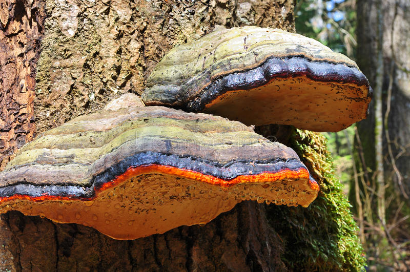 Download Fungus on tree stock photo. Image of autumnal, lying - 24533292