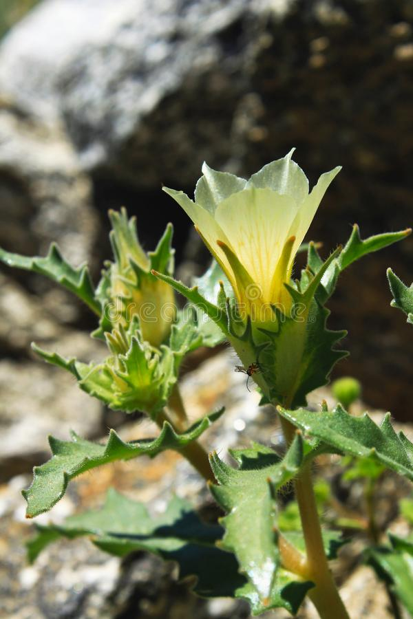 Funkelnder Stern des Sandes und funkelnder Stern des Weißhochblatts, Wüsten-Nationalpark Anza Borrego lizenzfreie stockfotos