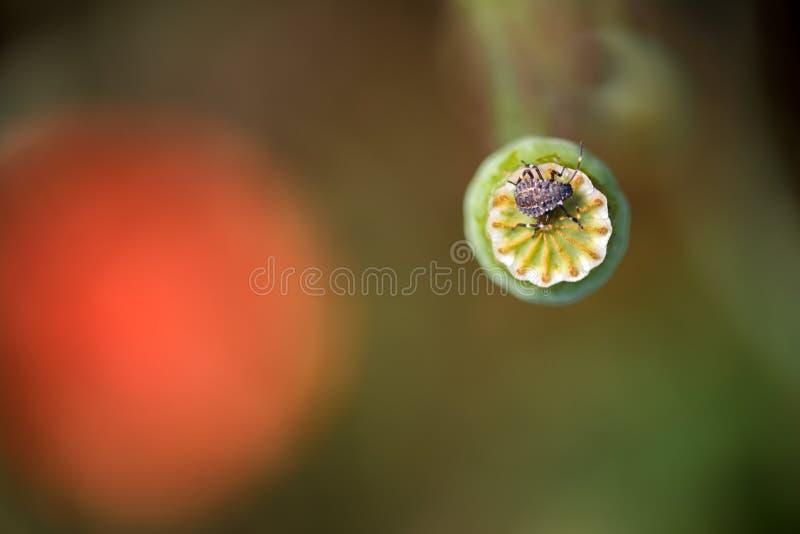 Funktion der Samenhülse und -insekts lizenzfreie stockbilder
