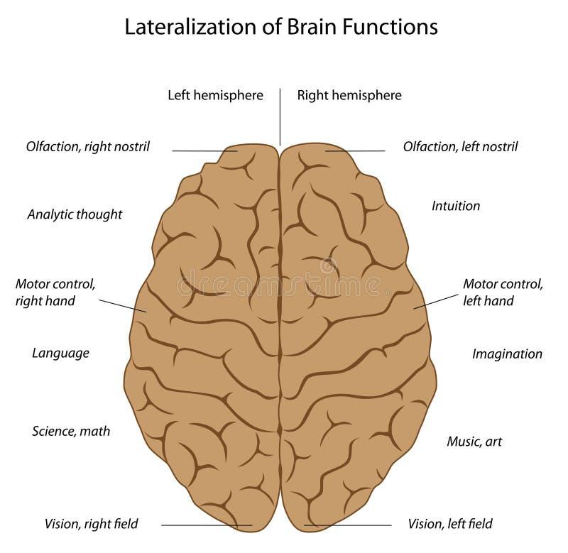 Funktionen des Gehirns vektor abbildung. Illustration von geistlich ...