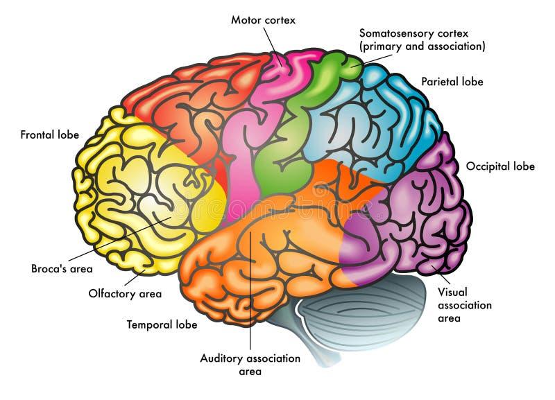 Funktionsdiagramm des menschlichen Gehirns lizenzfreie abbildung