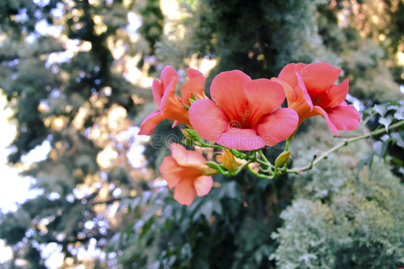 Funnel shaped flowers royalty free stock photo