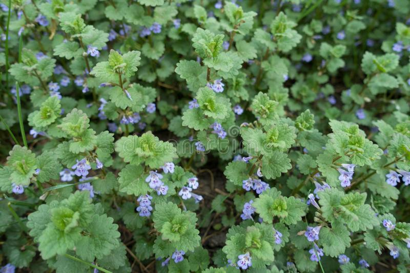 Funnel-shaped violet flowers of Glechoma hederacea. Funnel shaped violet flowers of Glechoma hederacea stock photo