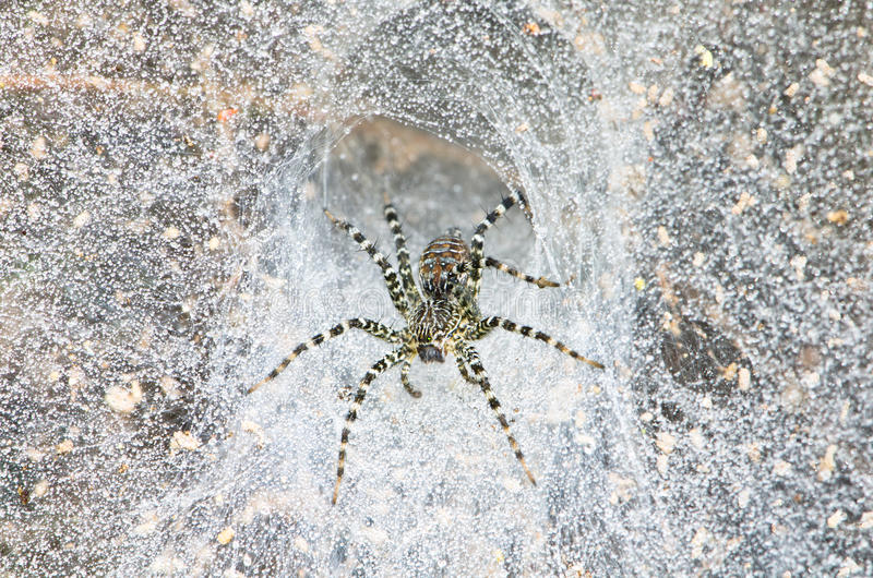 Funnel spider in web stock images