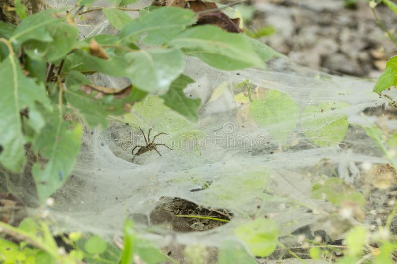Funnel Spider on Web stock image