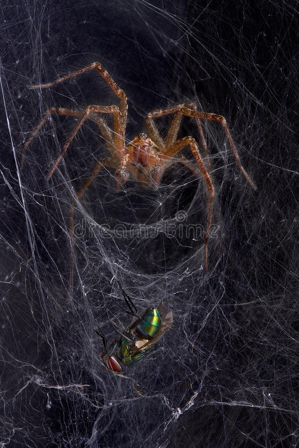 Funnel web spider with fly stock image