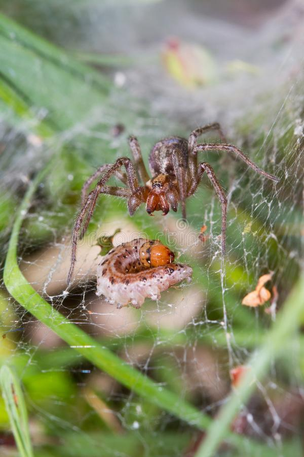 Funnel-web spider with prey stock photos