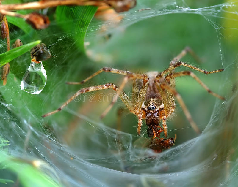 Download Funnel Web Weaver Grass Spider Stock Photo - Image: 28919902