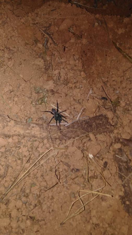 Funnelweb spider stock photo
