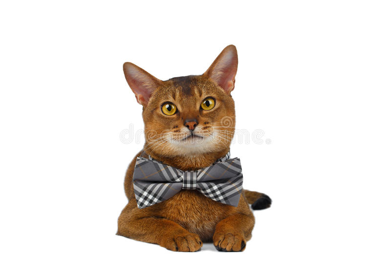 Funny Abyssinian Cat Lying bow tie, Curiously Looking in Camera stock photo