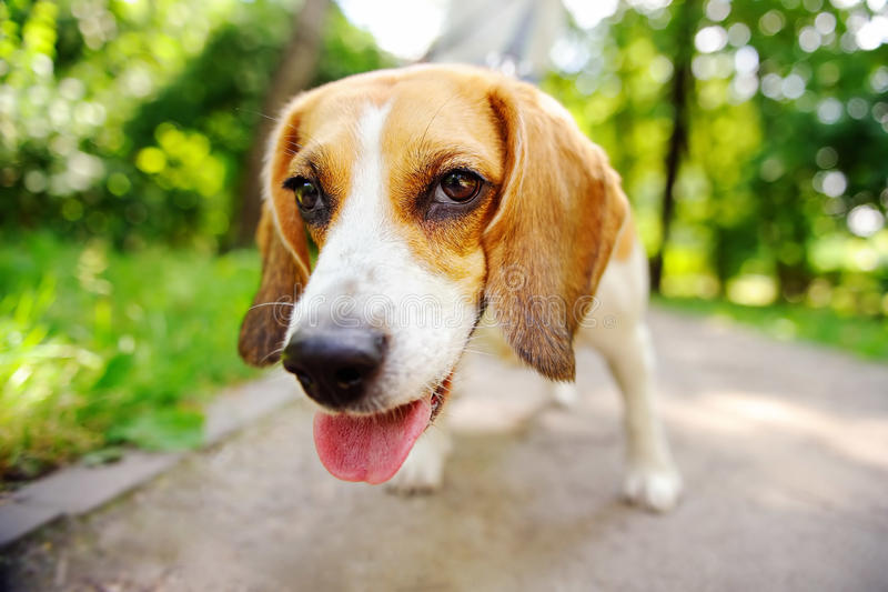 Funny active Beagle dog royalty free stock image
