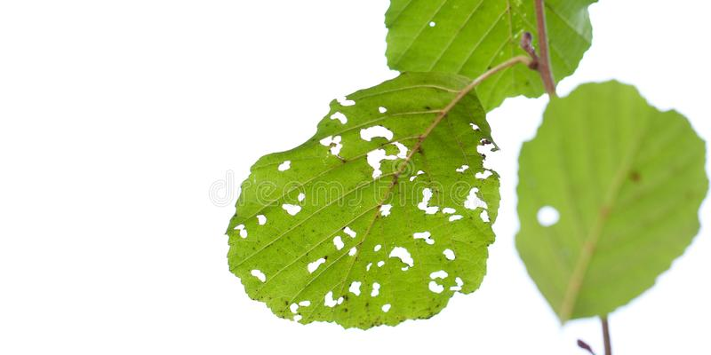 Alder leaves in a hole on a branch. Funny alder leaves in a hole eaten by insects on a branch stock images