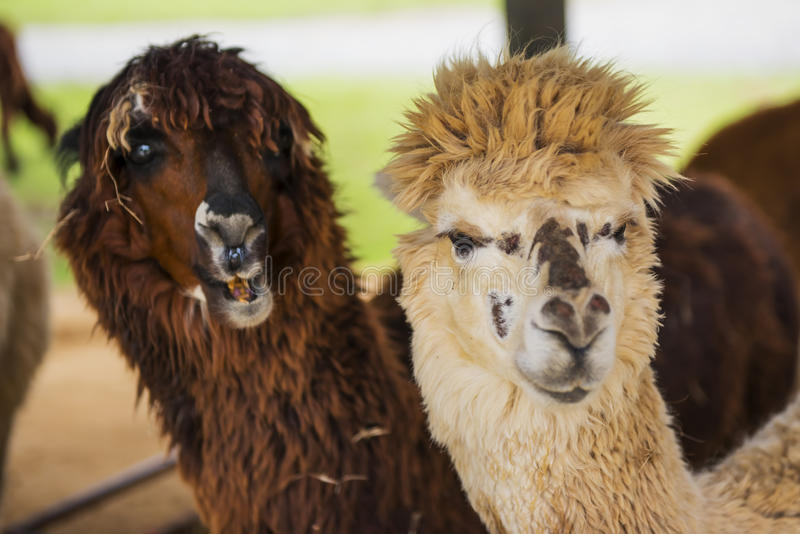 Funny Alpaca living in the farm ,Thailand. Funny Alpaca living in the farm ,Thailand royalty free stock images
