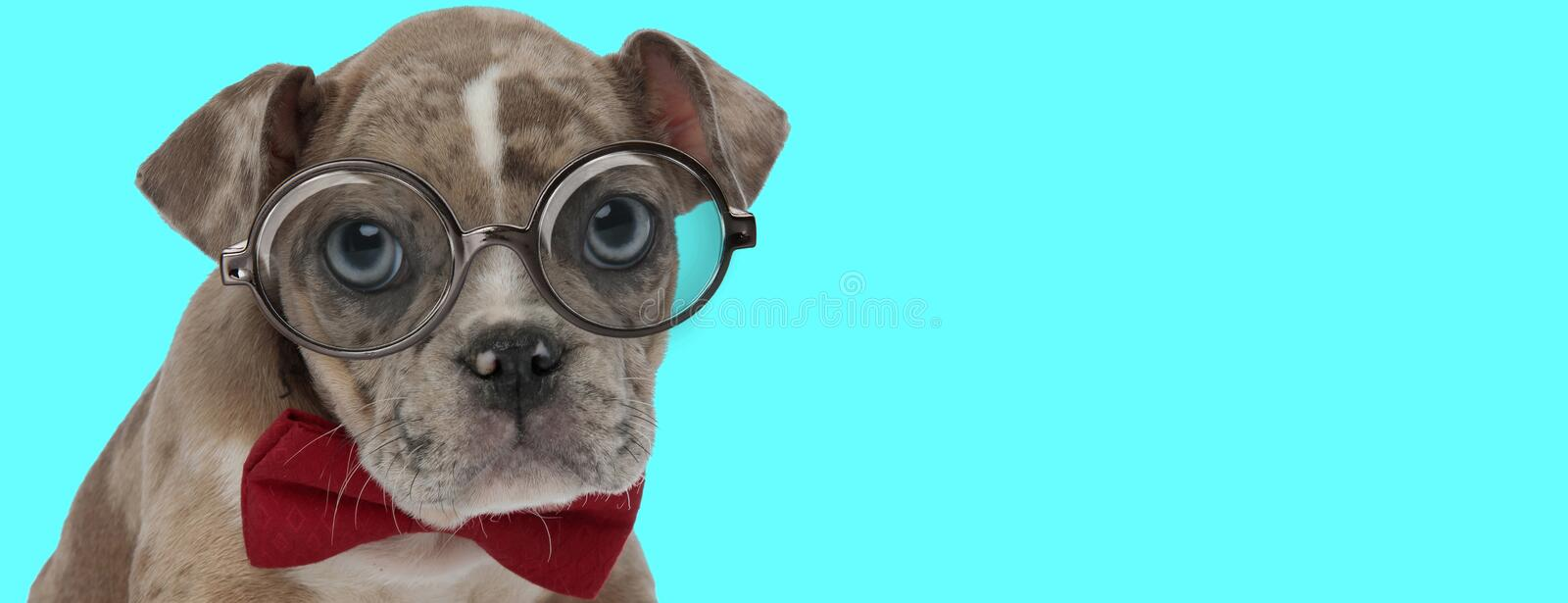 Funny American Bully dog wearing red bowtie and eyeglasses stock images