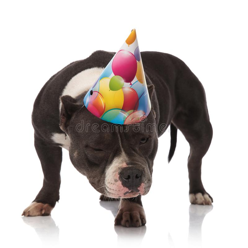 Funny american bully wearing birthday hat looks down to side. While standing on white background royalty free stock images