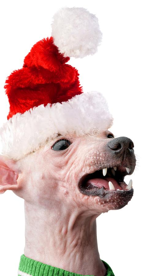 Funny American Hairless Terrier with Santa hat close-up isolated on white background royalty free stock photos