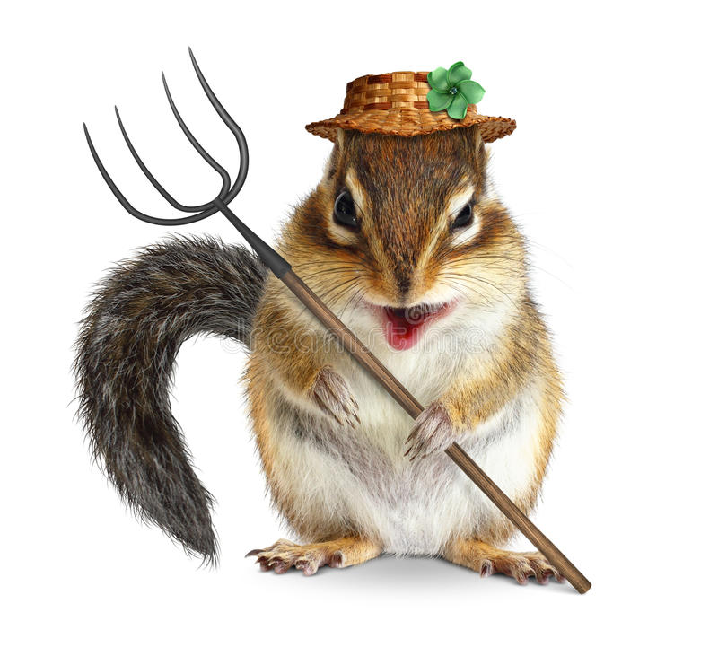 Funny animal farmer, squirrel with pitchfork and hat isolated on. Funny animal farmer, squirrel with hay fork, isolated on white royalty free stock photos
