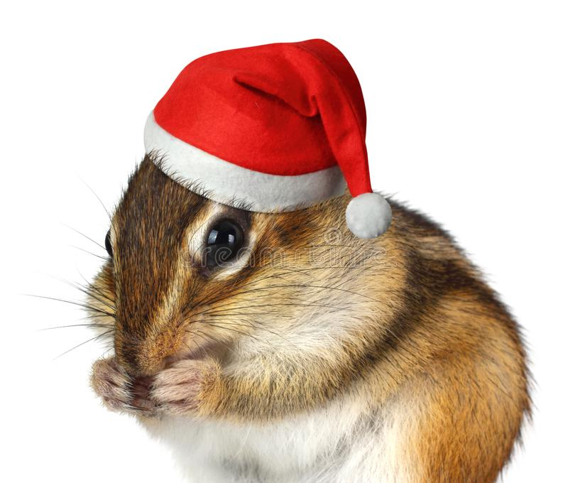 Funny animal with Santa Claus hat, Merry Christmas and Happy New. Funny Chipmunk with Santa Claus hat, Merry Christmas and Happy New Year concept stock photos