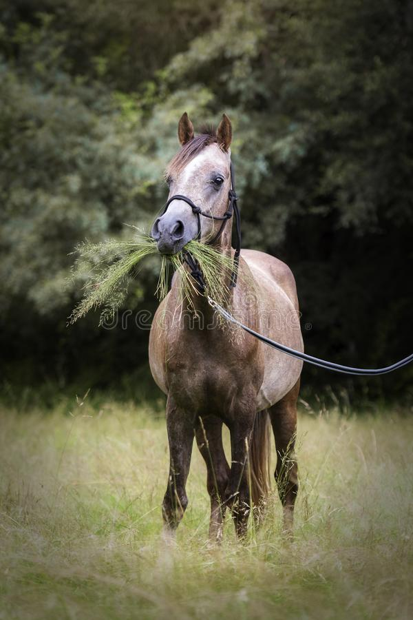 Funny Arabian horse with a lot of grass in its mouth stock image
