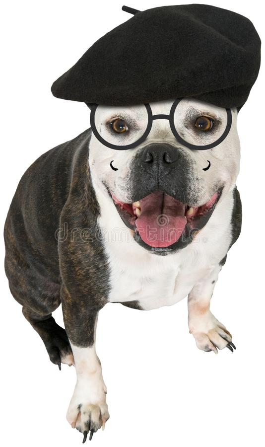 Funny Artist Dog. Bulldog, Isolated. Funny scene of an artist dog. The artistic bulldog is wearing a French beanie hat and glasses. Isolated on white. PNG file royalty free stock photo
