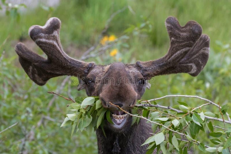 Funny awkward moose eating stock photo