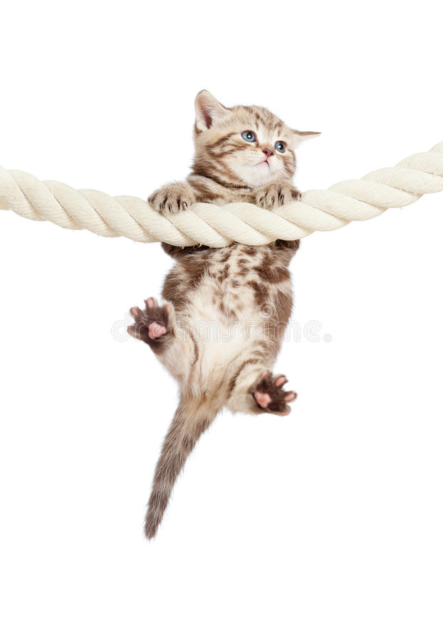 Funny baby cat hanging on rope stock images