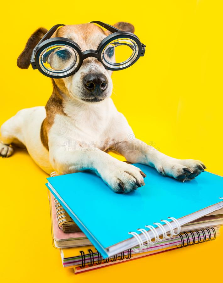 Free Funny Back To School Cute Dog In Glasses On Yellow Background Royalty Free Stock Photo - 123359965
