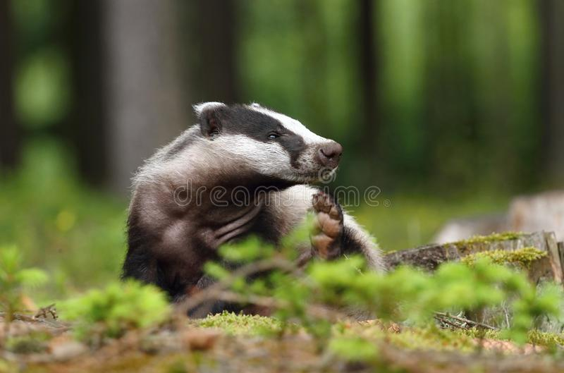 Funny badger. Nice hairy wild badger in forest royalty free stock images