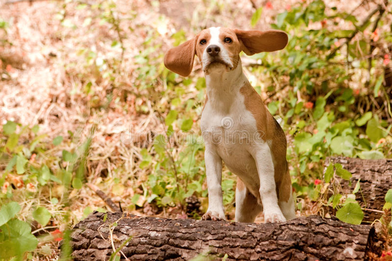 Funny beagle. Beagle with ears blowing back in the forest royalty free stock image