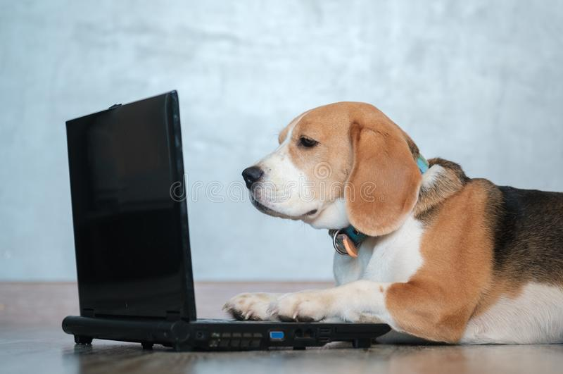 Funny Beagle dog looks at the laptop screen and keeps his paws on the keyboard royalty free stock photography