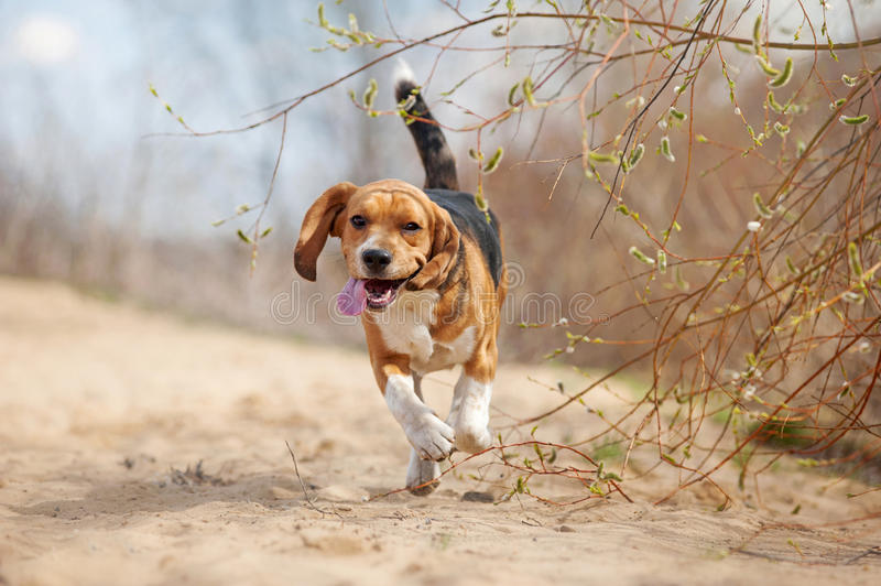 Funny beagle dog running stock photos