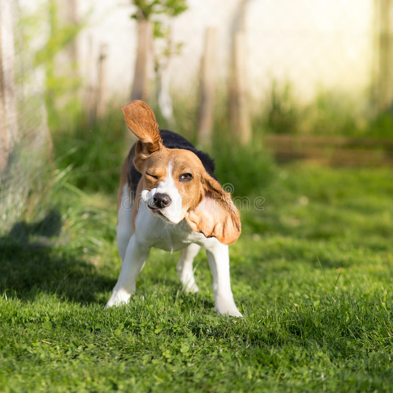 Funny Beagle dog shaking stock images